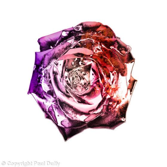 445560_divine-rose