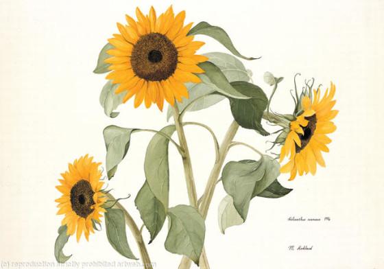 m_4776_sunflower